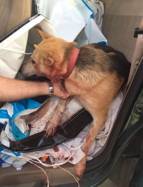Teniente rescata perro herido en Arecibo