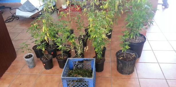 Ocupan 21 plantas de marihuana durante allanamiento en Toa Alta