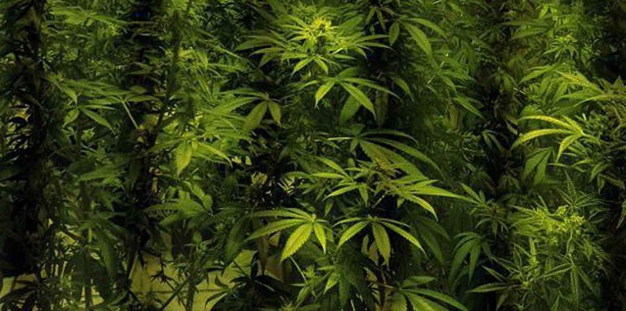 Ocupan más de 400 plantas de marihuana en Coamo