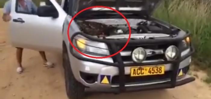 Una familia halló una enorme pitón bajo el cofre del carro en Zimbabue (Video)