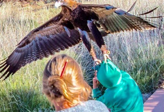 Un águila pretendía llevarse a un niño en pleno show de aves rapaces en Australia