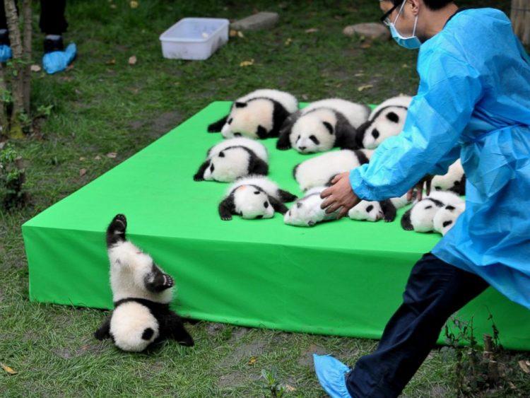 No te preocupes, el panda está bien; el oso panda deja lista de animales en peligro de extinción