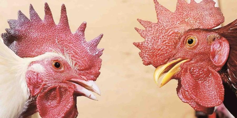 Roban gallos de pelea de una residencia en Bayamón