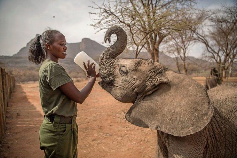 El gesto tierno de los Samburu por rescatar elefantes que antes temían